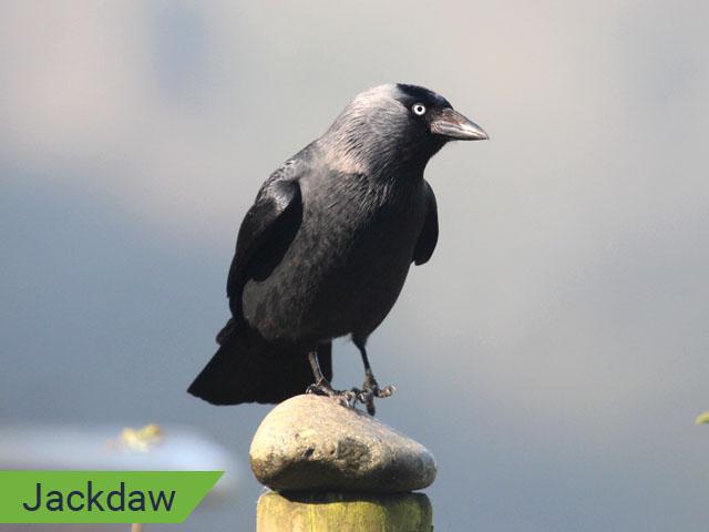 Jackdaw 1
