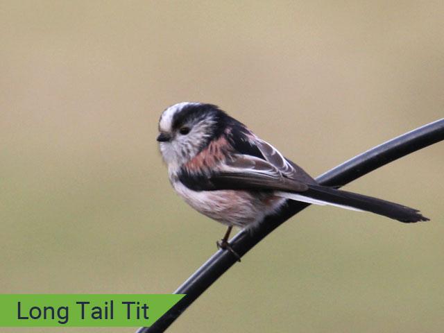 Long tail tit