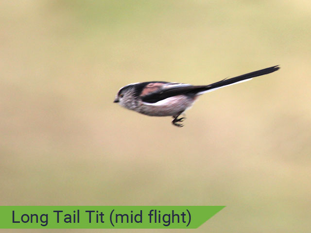 Long tail tit just after takeoff