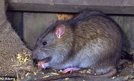 Rats and Re-cycling