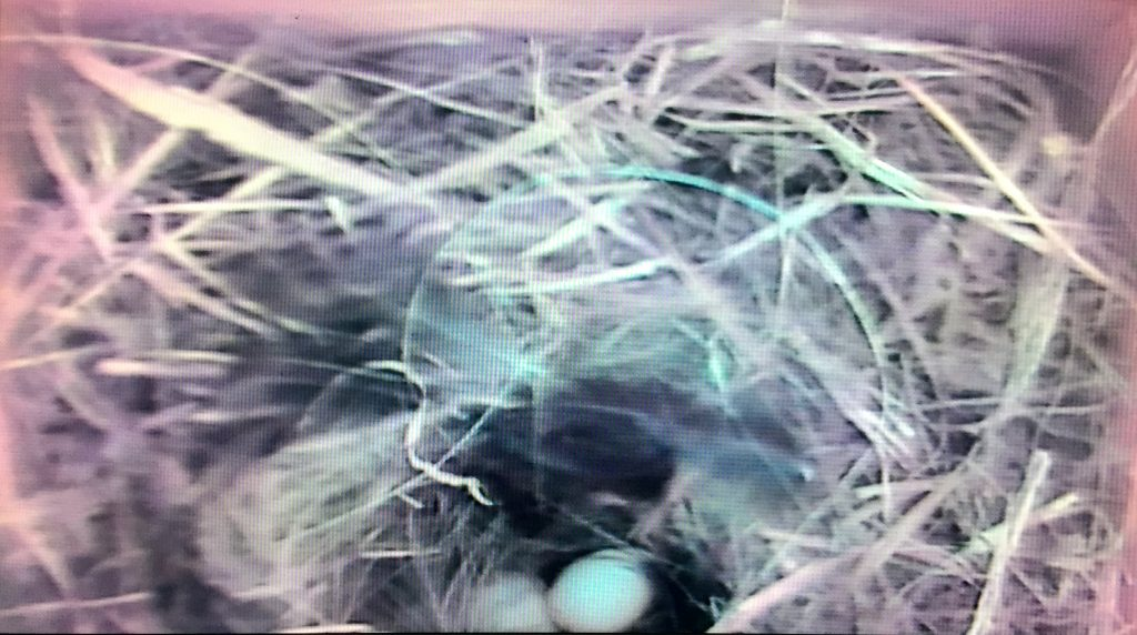 Blue tit eggs in nest